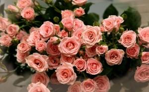 ingrijirea trandafirilor