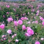 soiul ideal pentru planatarea trandafirilor de dulceata