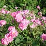 soiul rose damascena pentru trandafirii de dulceata