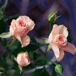 cum ingrijim corect trandafirii
