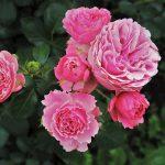 ingrijirea trandafirilor in fiecare anotimp