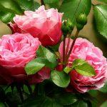 recomandari utile trandafiri