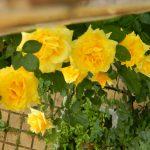 ingrijire trandafir galben