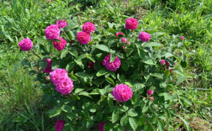 rosa damacena trandafir de dulceata