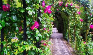 Sfaturi ingrijirea trandafirilor