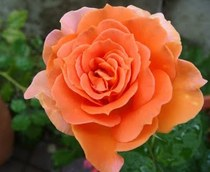 Plantarea trandafirilor cu radacina